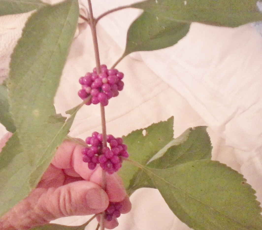 beautyberry anyone fly u0026 mosquito control backyardherds com