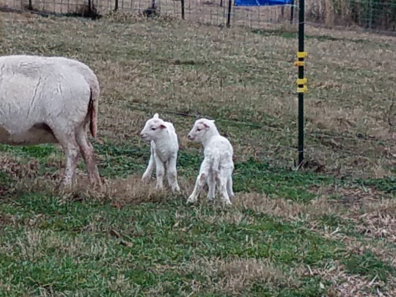 15 Jan 2019 TN33 ram lamb2.jpg