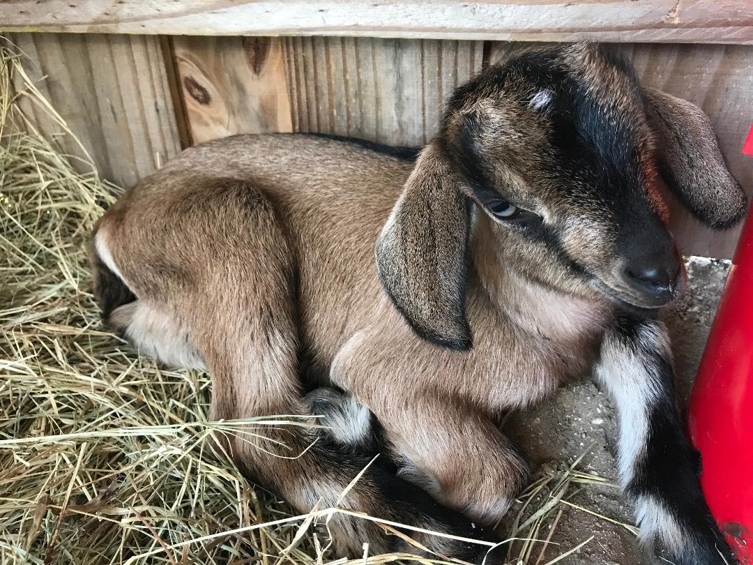 Babby goat 2.jpg