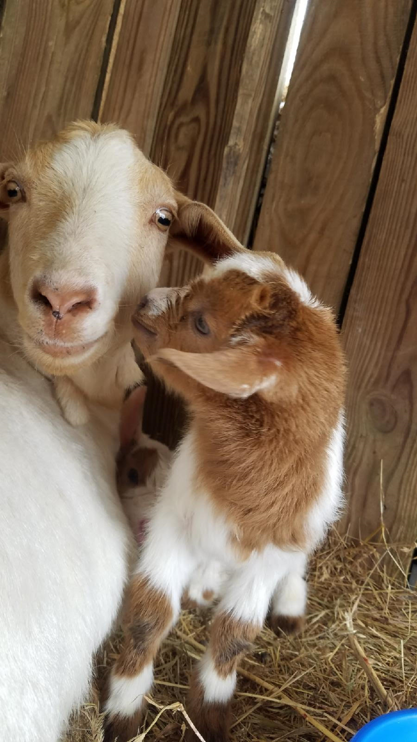 baby goat9.png