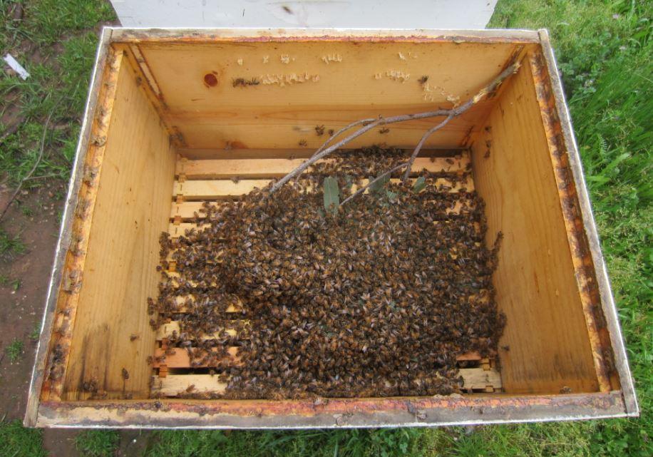 Bees in box.JPG