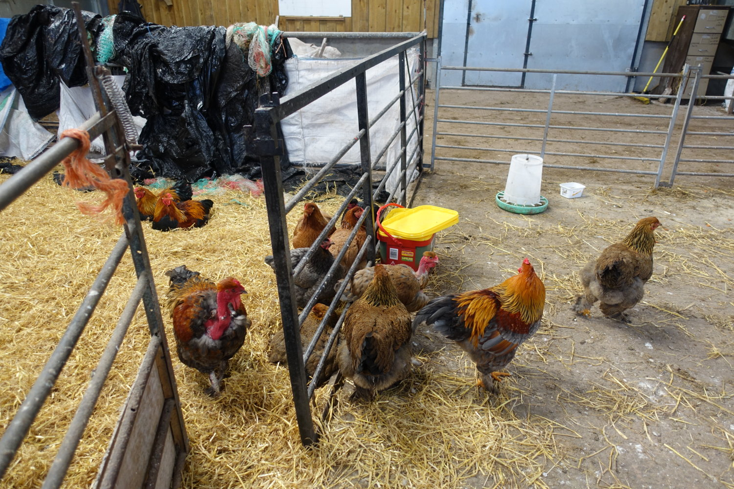 Chickens in shed.jpg