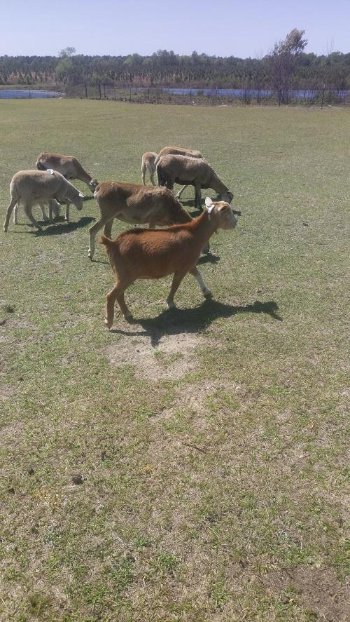 goat-3.JPG