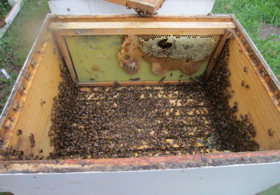 Honey frame in the box.JPG