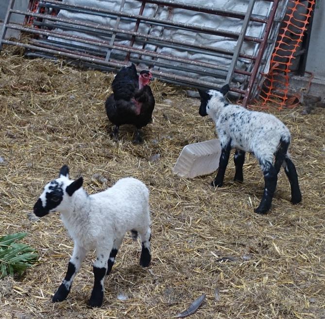 Lambs 30th.jpg