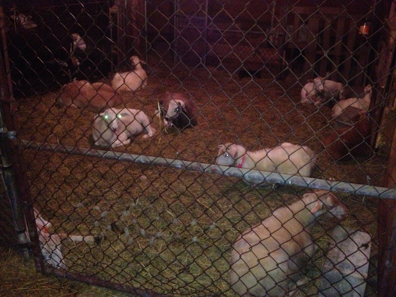 lambs sleeping in the creep pen.JPG