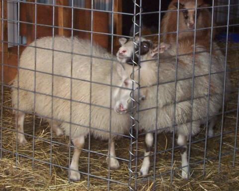 lambswait.jpg