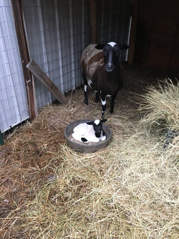 Miranda's lamb 2016.JPG