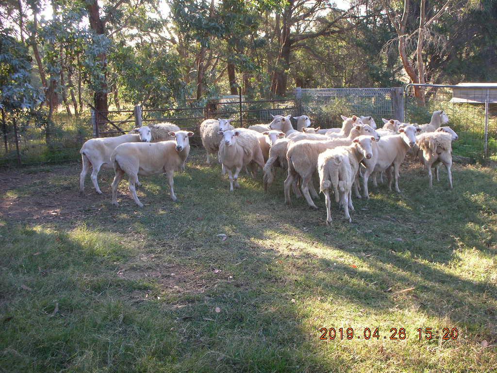 new ewes 002.JPG
