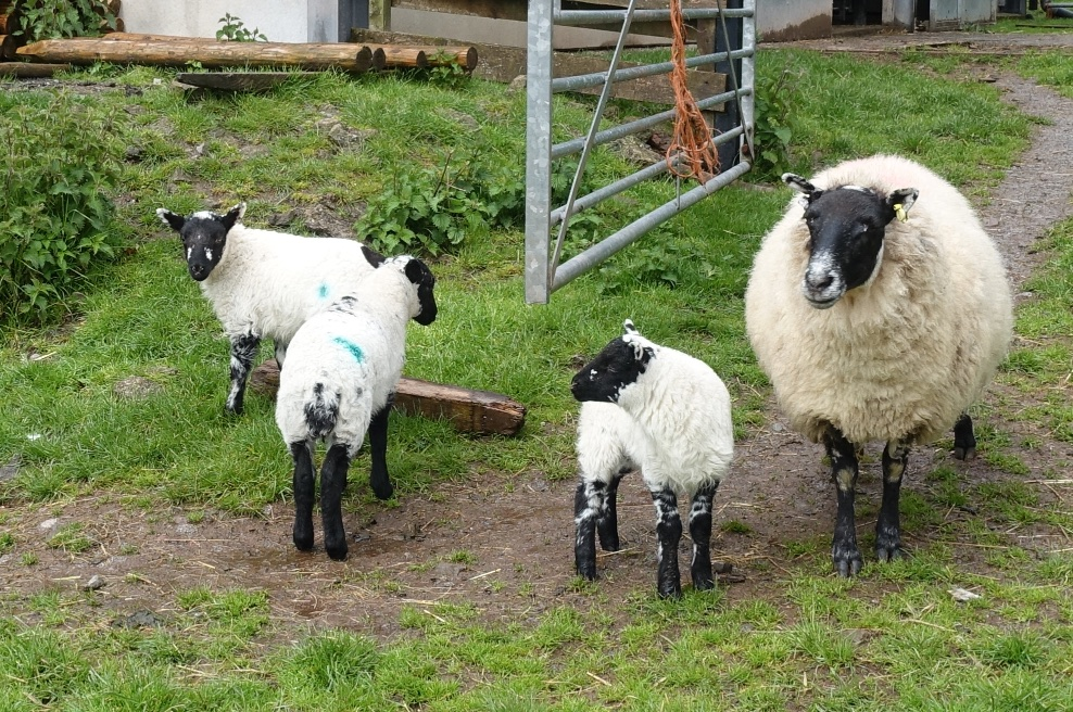 old girl and lambs (1).jpg