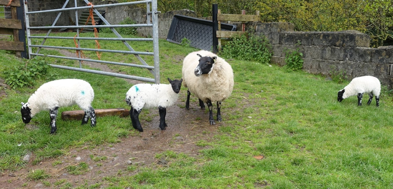 old girl and lambs.jpg