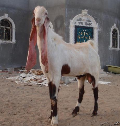 Arabic Breeds Goats Gt Hijazi Backyardherds Com