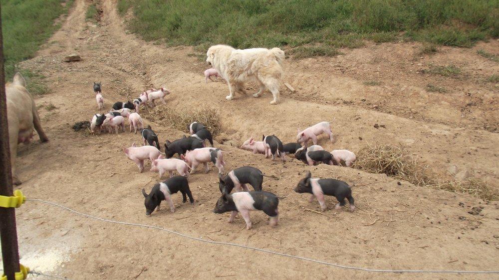 pigs and Siers men 005.JPG