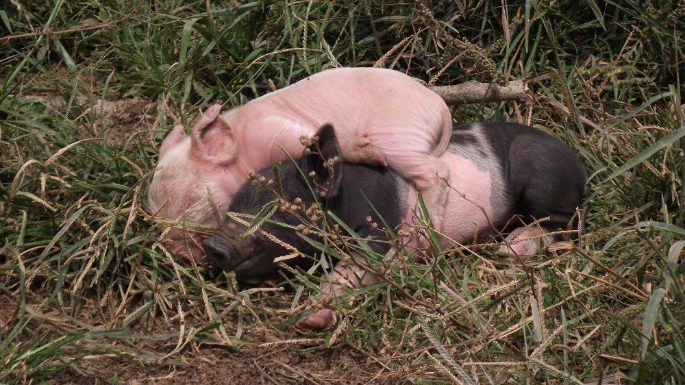 pigs and Siers men 014.JPG