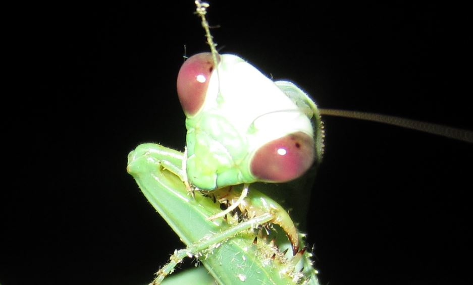 Preying Mantis 8.JPG