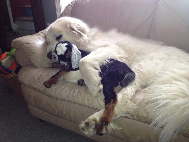 Pyrenees and goat on couch.jpg