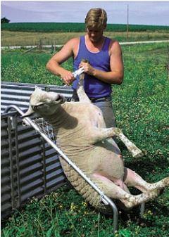Sheep chair 2.JPG
