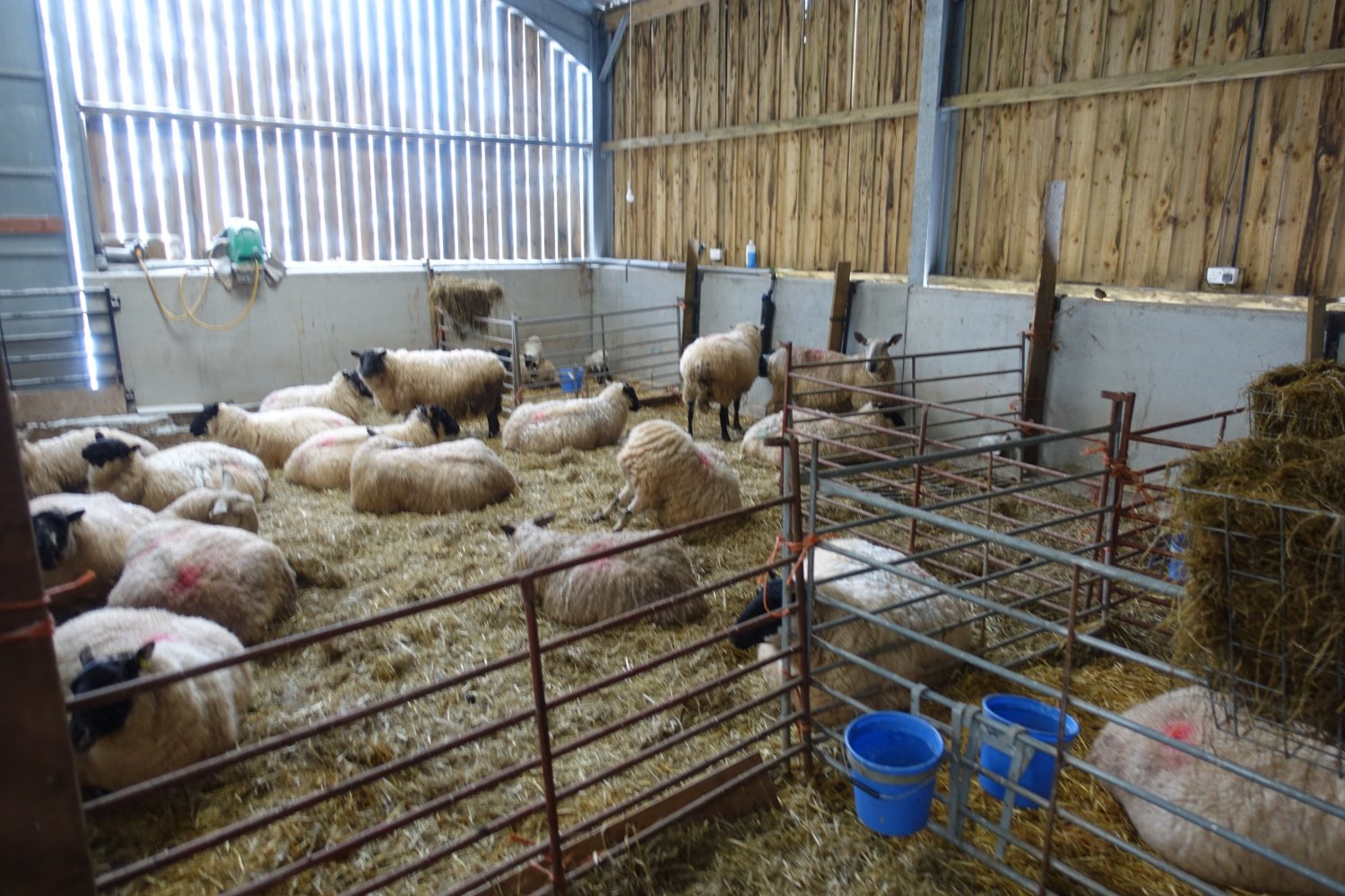 sheep in shed.jpg