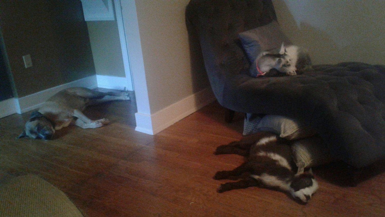 sleeping goats.jpeg