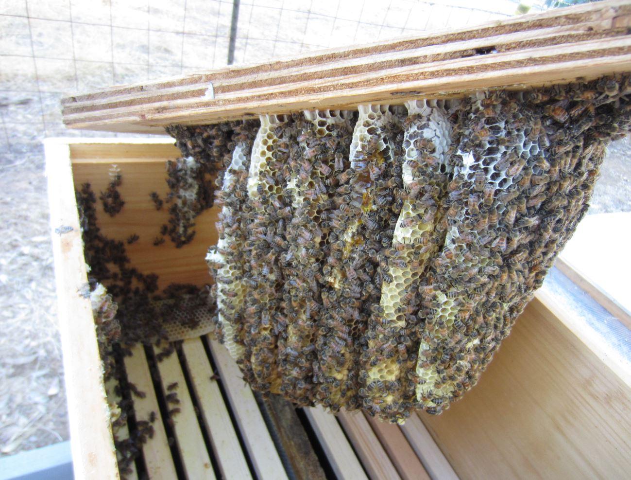 Swarm comb 2.JPG