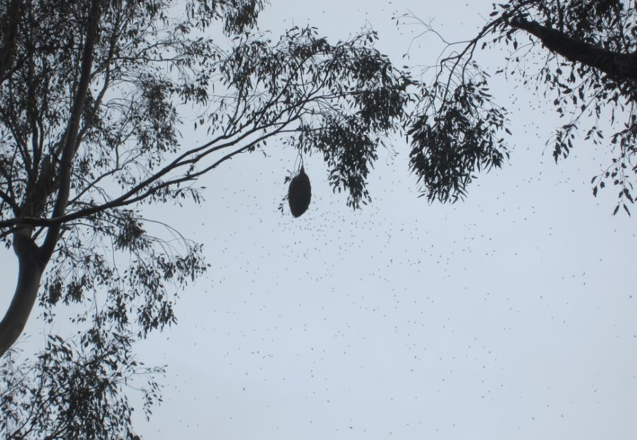 Swarm hanging from tree.JPG