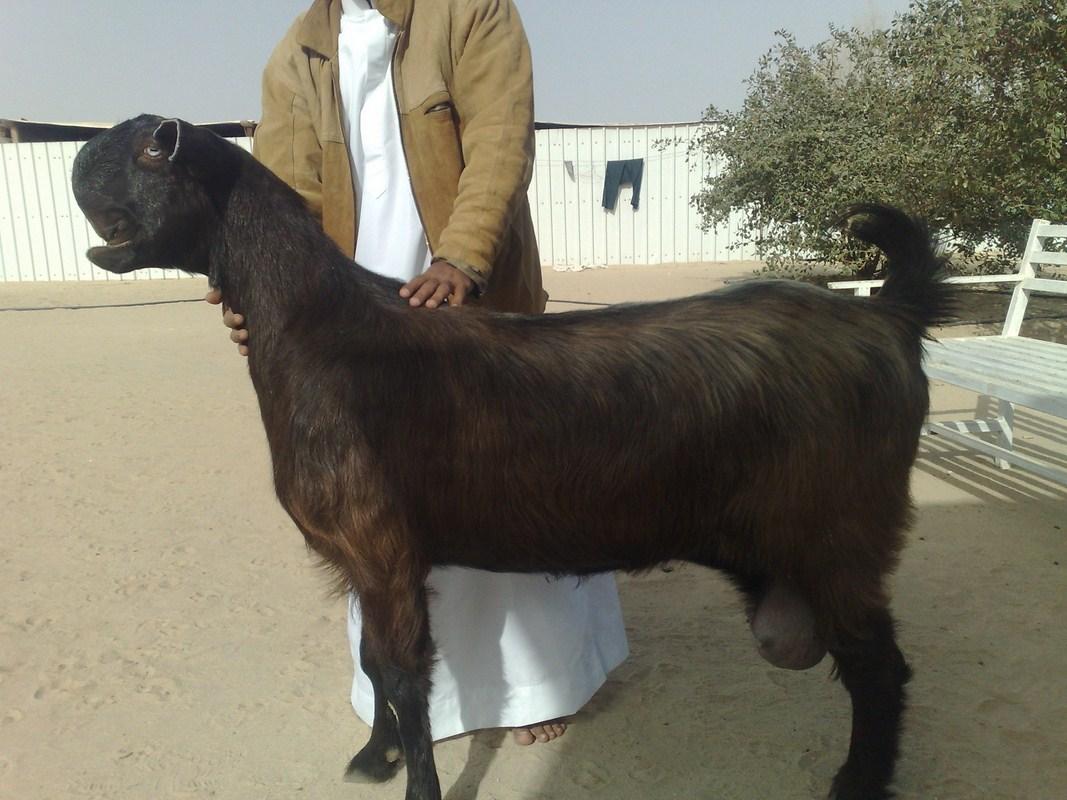 Shami Ziege
