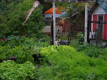 veg garden sep 4 2015.jpg
