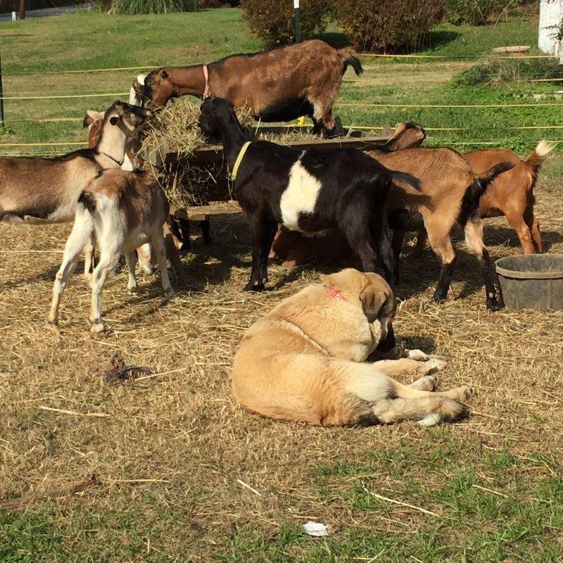 Wingin' it Farms LGD pups in training 10 months Anatolian-Pyrenees (12).JPG