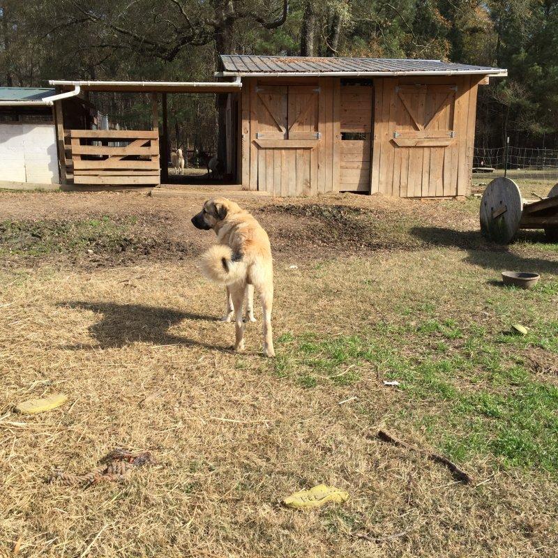 Wingin' it Farms LGD pups in training 10 months Anatolian-Pyrenees (8).JPG