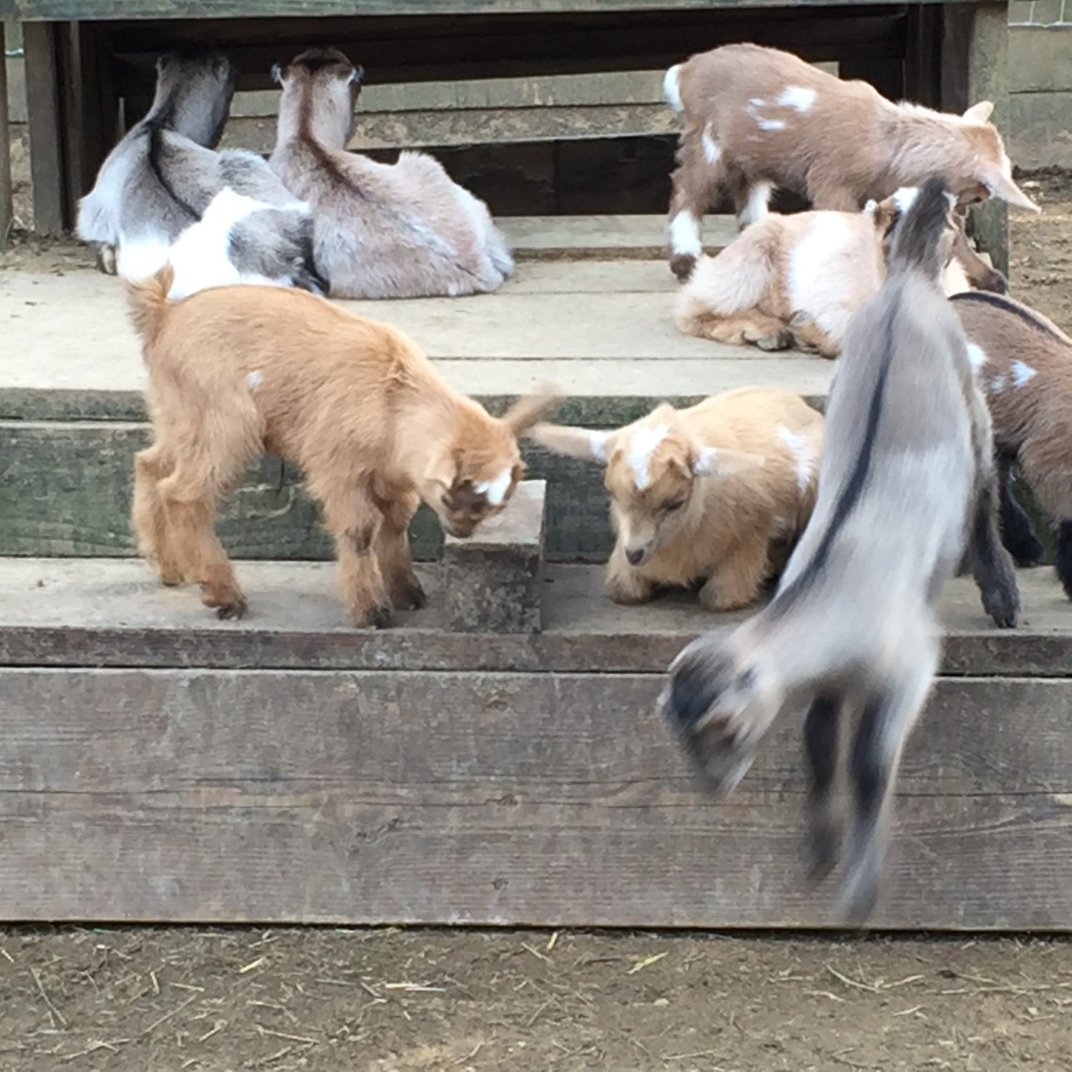 Wingin' it Farms Livestock Guardian Dogs 12 months with new kids 006.JPG