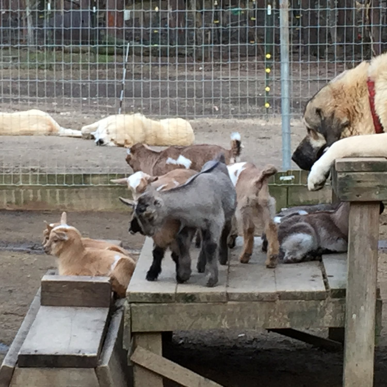 Wingin' it Farms Livestock Guardian Dogs 12 months with new kids 044.JPG