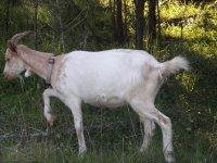 Spanish X Kiko Spaniko Goats Backyardherds Com