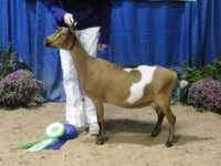 Peanut 1st place Yearling milker GCH ring 1 (2) - Copy.JPG