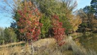 20201105_101059_sweetgum_trees_on_pond_dam_small.jpg
