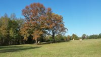 20201105_101431_sweetgum_and_sycamore_small.jpg