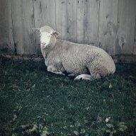 Maple_Lane_Lambs