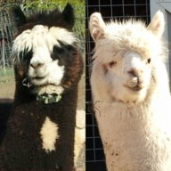 curious alpaca4