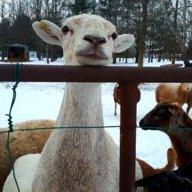 newton the goat