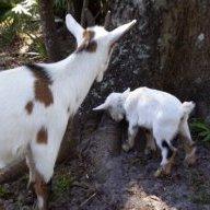 B&B Happy goats