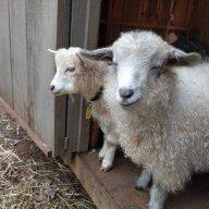 Sheepish Goat