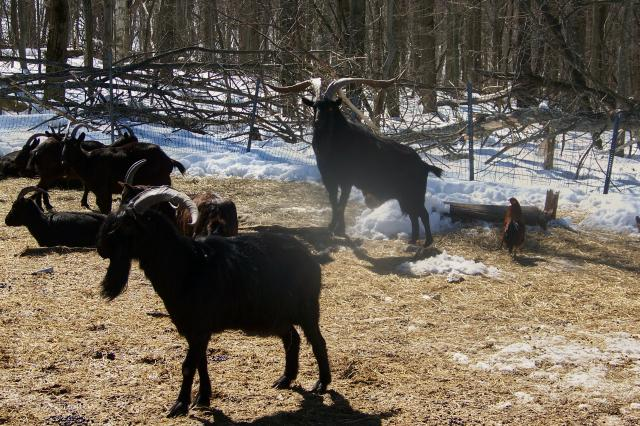 Alpine goats with horns - photo#16