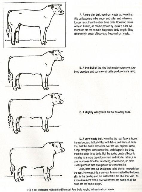 Beef cattle anatomy