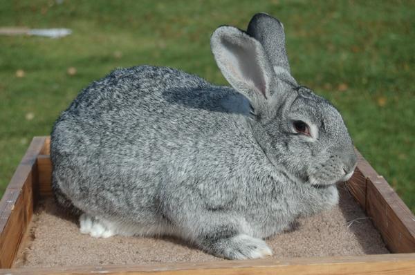 Giant Chinchilla Rabbit Breed Giant Chinchilla