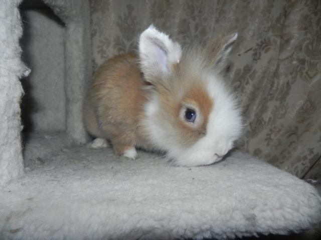 Lionhead Rabbit Brown | www.imgkid.com - The Image Kid Has It!