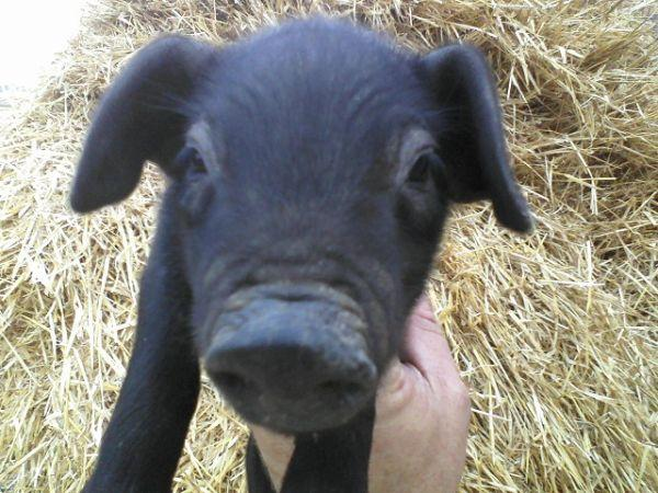 Pics For > Large Black Piglets