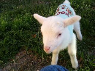 Newborn lamb, no mother. Need advice. | BackYardHerds.com