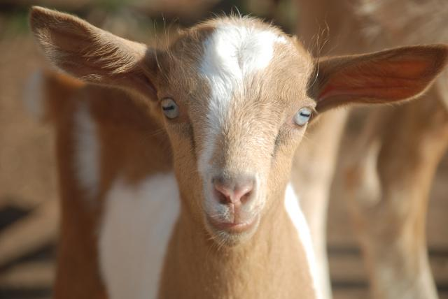 Post Pictures of Goat Face Close-Ups! | Page 4 ...