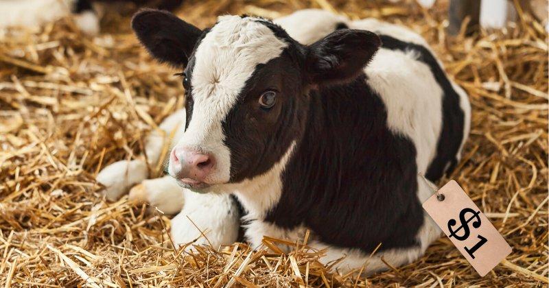 calf, sale
