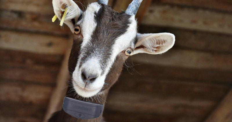 goat, collar