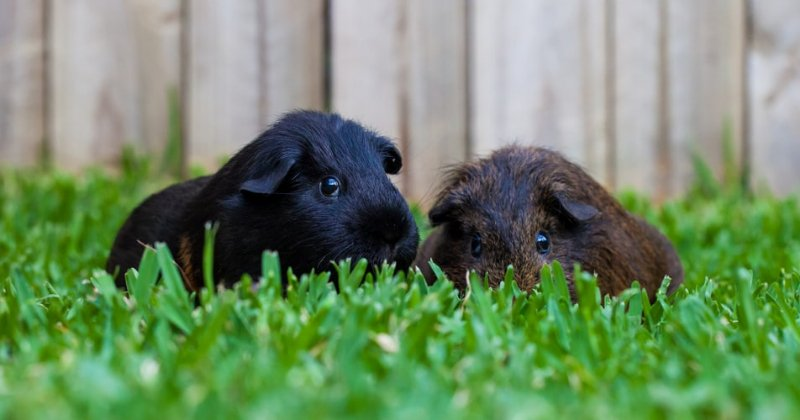 Meat guinea pigs (cuy)?